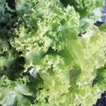Lettuce, Salad leaves – Pak Gad Hom